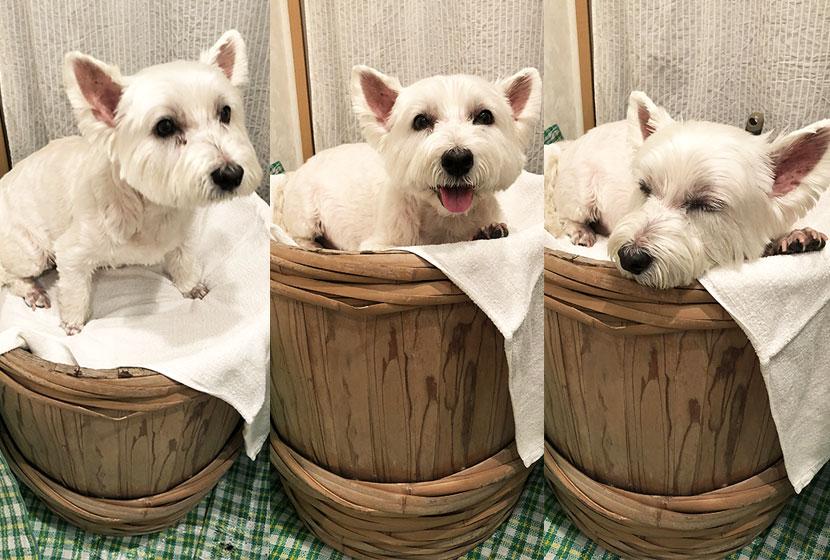 ペット用酵素風呂に入りリラックスする犬